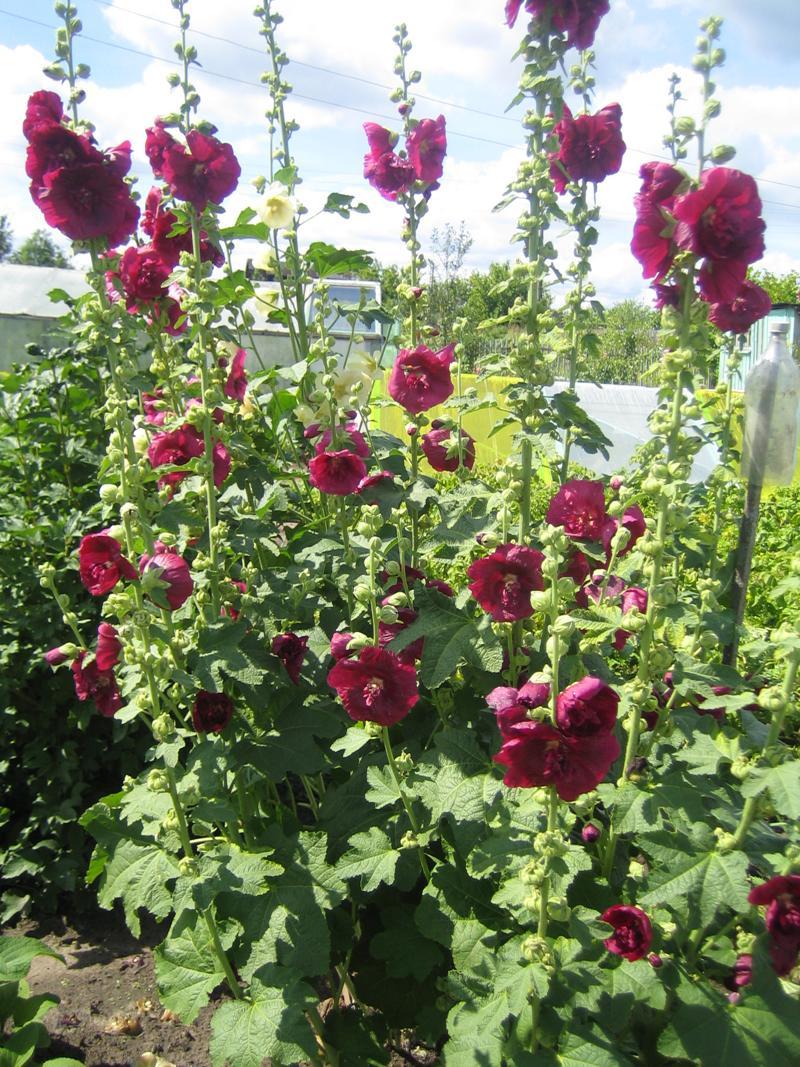 Ольга кощеева цветы в саду